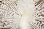 Close-up of beautiful white peacock with feathers out