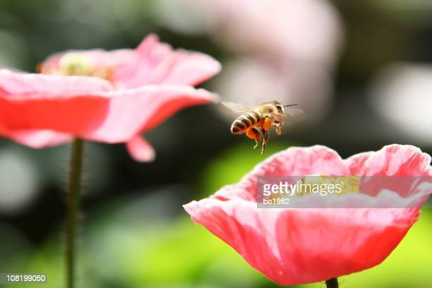 Close-up of Bee About to Land on Pink Flower
