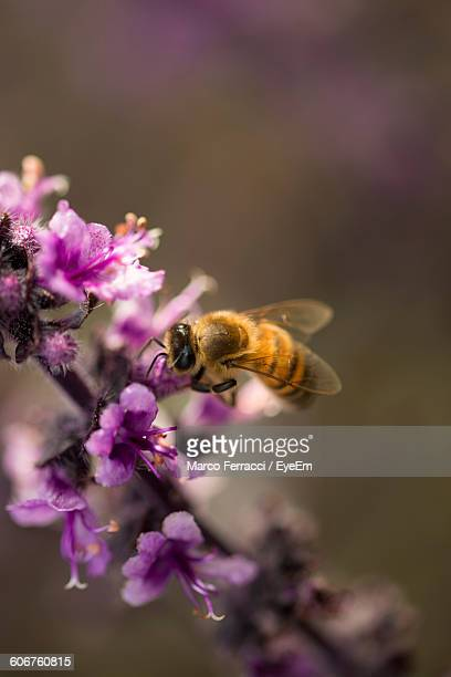 Close-Up Of Bee Hovering On Pink Flowers