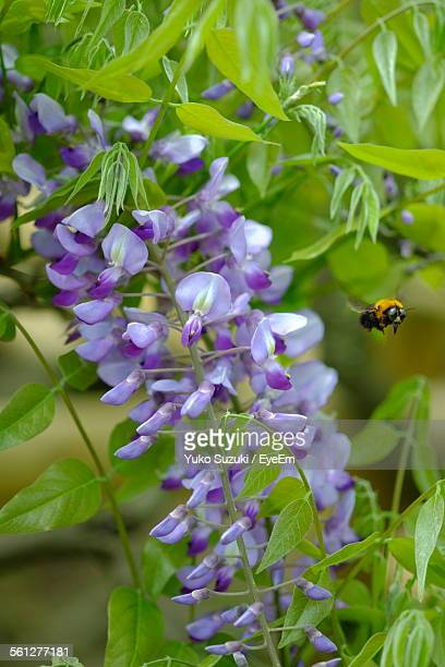 Close-Up Of Bee Hovering Purple Wisteria Flowers