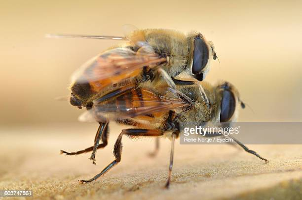 Close-Up Of Bee Mating