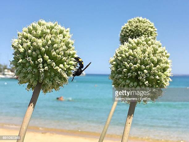 Close-Up Of Bee On Flower Buds At Beach Against Clear Blue Sky