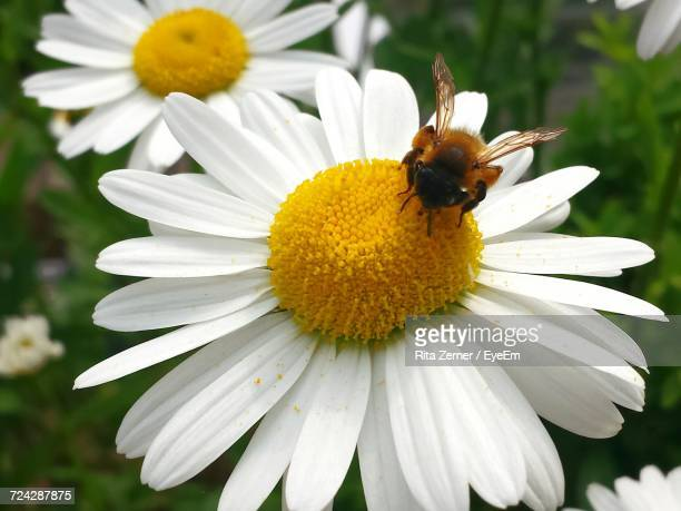 Close-Up Of Bee Pollinating On Daisy Flower