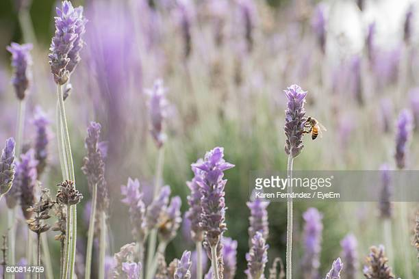 Close-Up Of Bee Pollinating On Fresh Purple Flower In Field