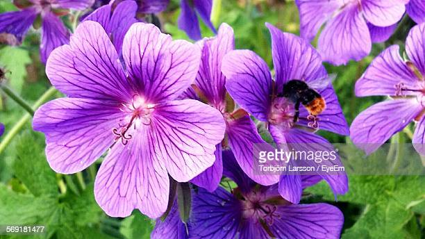 Close-Up Of Bee Pollinating On Purple Flower In Field