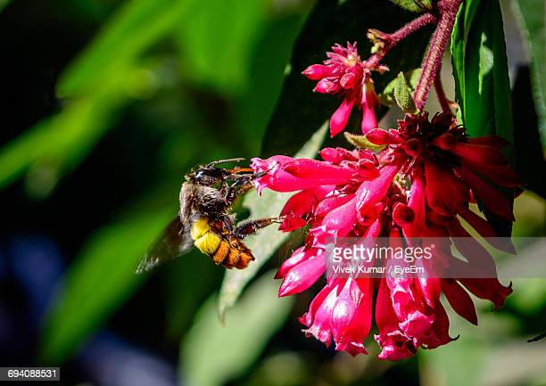 Close-Up Of Bee Pollinating Pink Flower