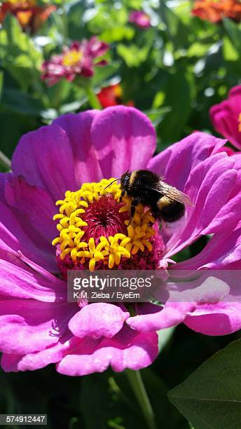 Close-Up Of Bee Pollinating Pink Zinnia Flower