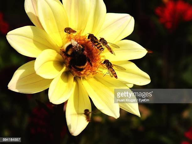 Close-Up Of Bees By Yellow Flower Blooming Outdoors