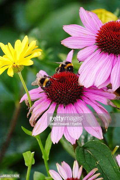 Close-Up Of Bees On Flowers