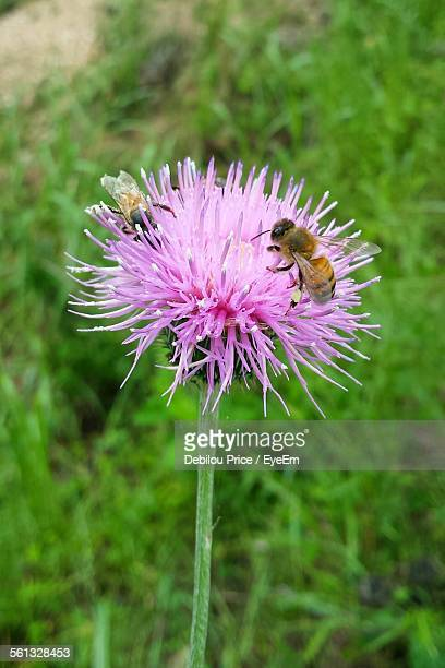 Close-Up Of Bees On Thistle In Yard