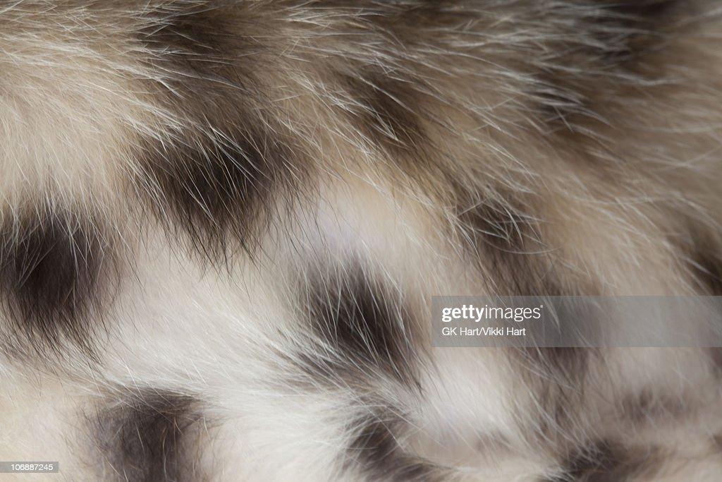 Close-up of Bengal Cat Fur : Stock Photo