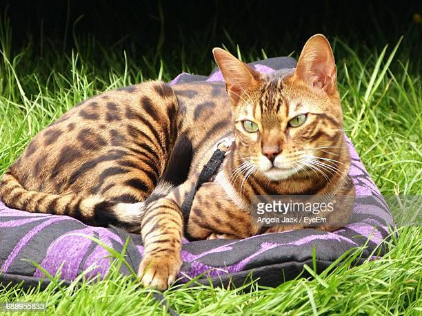 Close-Up Of Bengal Cat Resting On Field