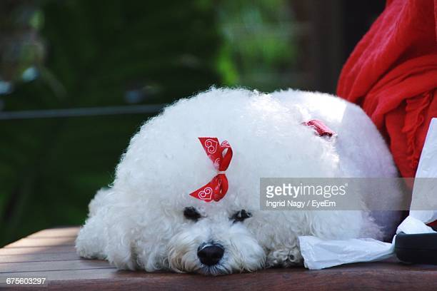 Close-Up Of Bichon Frise Relaxing On Table