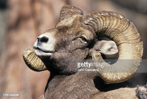 the background information of the bighorn sheep ovis candensis Learn more about the life of these alpine creatures  a desert bighorn sheep ( ovis canadensis nelsoni), a subspecies of bighorn sheep, photographed at the.