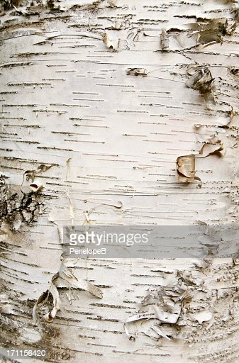 Close-up of birch bark peeling off the trunk