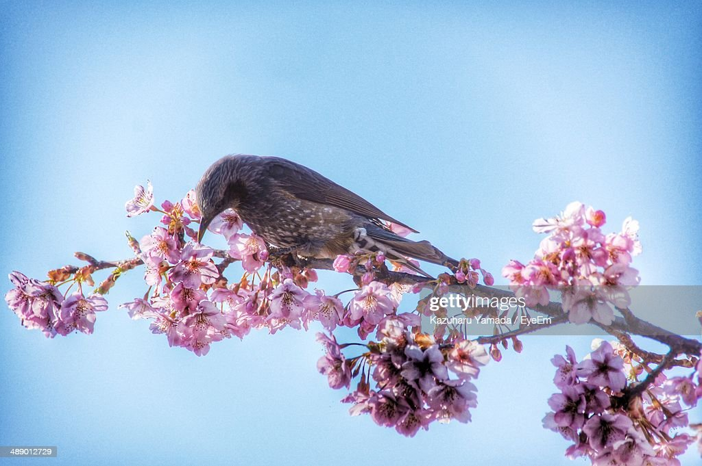 Close-up of bird and pink flowers against blue sky : Stock Photo