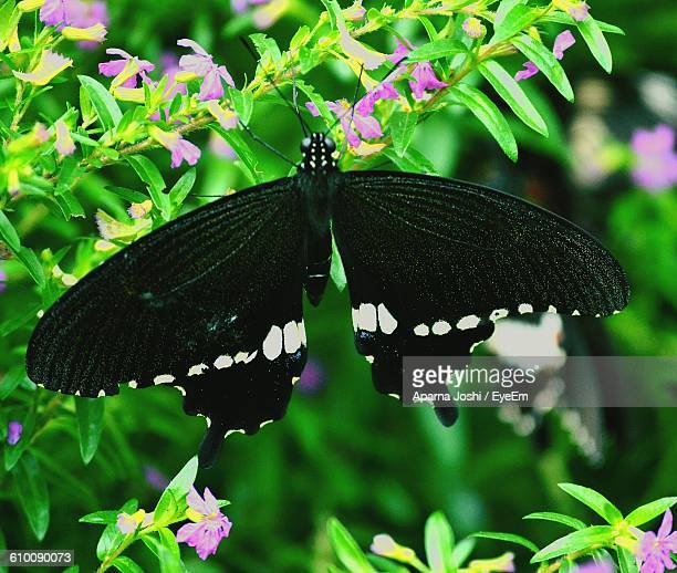 Close-Up Of Black Butterfly On Flowering Plant