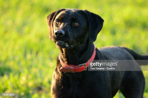 Close-Up Of Black Dog On Field