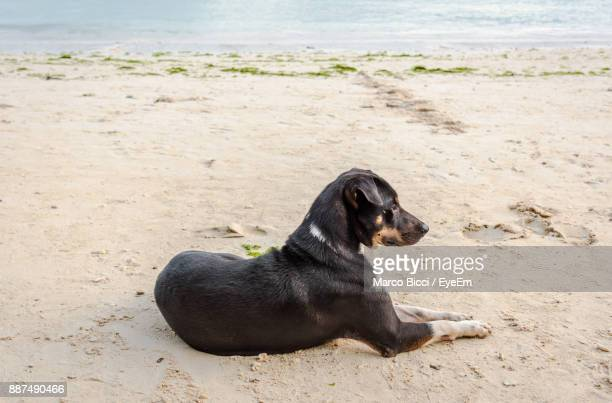 Close-Up Of Black Dog On Sand At Beach