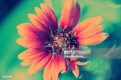 Closeup of black eyed susan flower