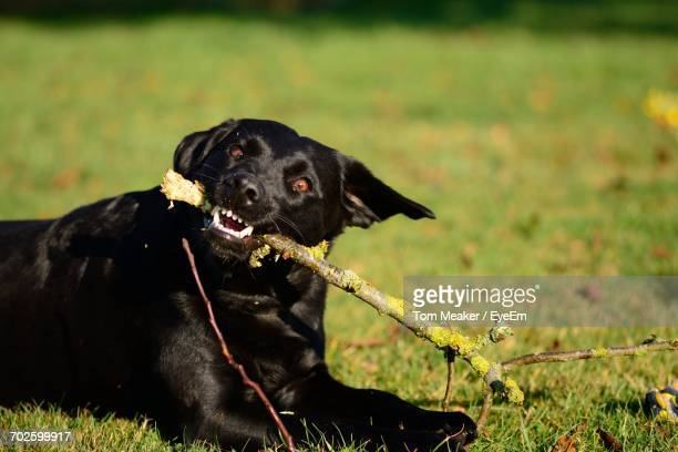 Close-Up Of Black Labrador Chewing Stick On Grass