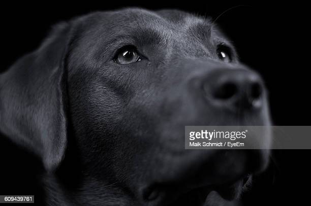 Close-Up Of Black Labrador Looking Up Against Dark Background