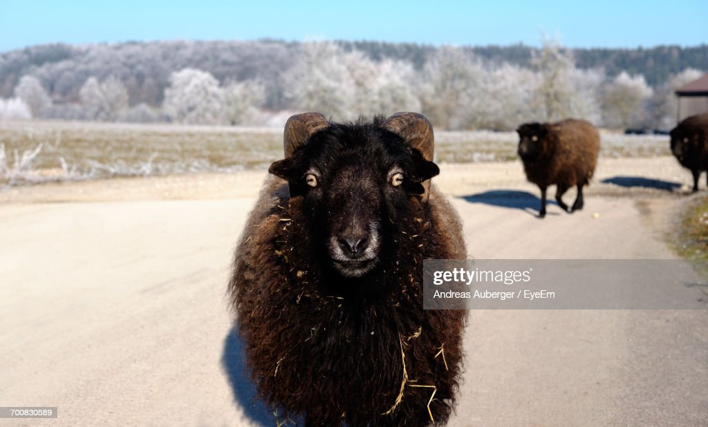 Close-Up Of Black Sheep On Landscape Against Sky : Stock Photo