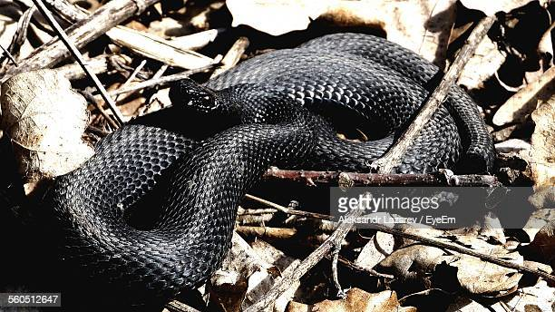 Close-Up Of Black Snake On Dry Leaf
