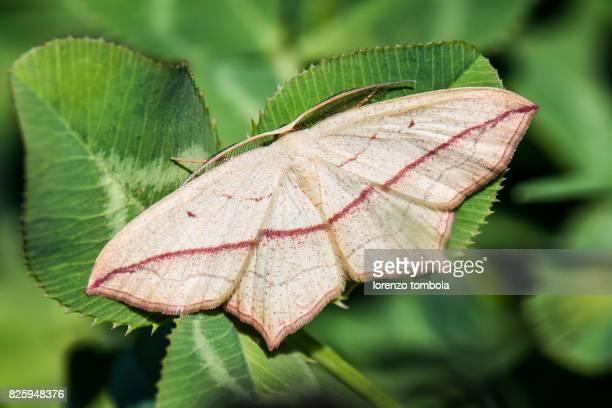 Close-Up of Blood-Vein Moth (timandra comae)