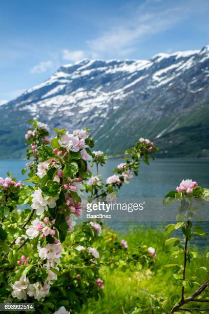 Close-up of blooming fruit trees in Hardanger, Norway