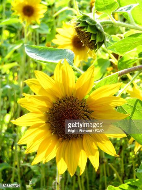 Close-up of blooming sunflowers