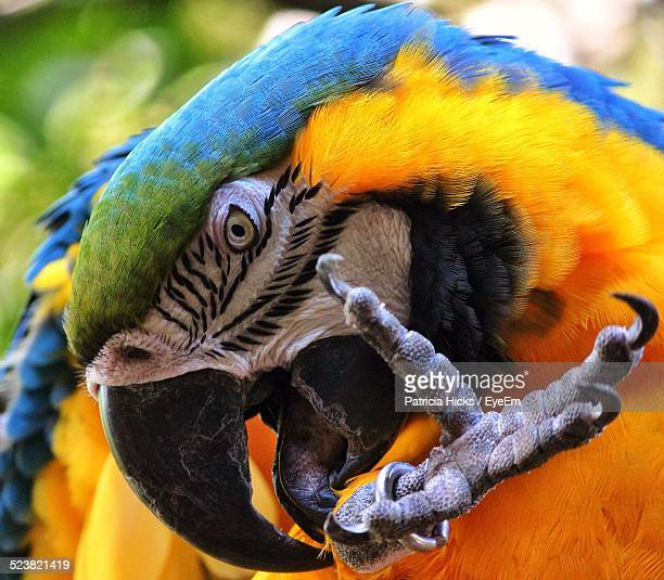 Close-Up Of Blue And Yellow Macaw