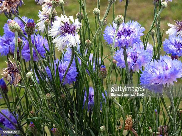 Close-Up Of Blue Cornflowers