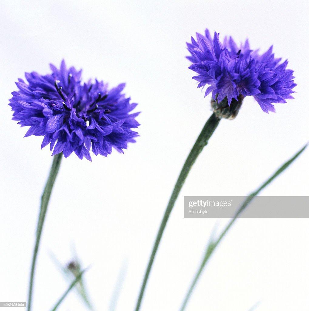close-up of blue cornflowers