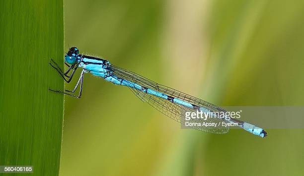 Close-Up Of Blue Damselfly On Leaf