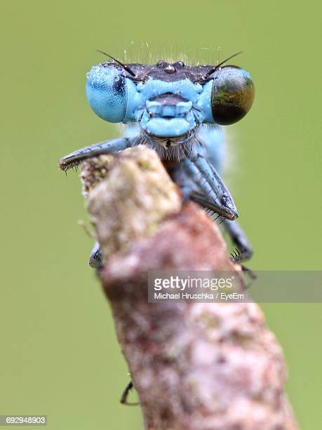 Close-Up Of Blue Damselfly On Twig