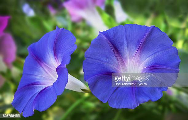 Close-Up Of Blue Morning Glories Blooming Outdoors