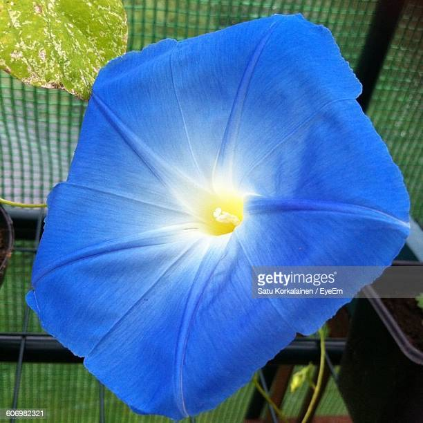 Close-Up Of Blue Morning Glory Blooming Outdoors