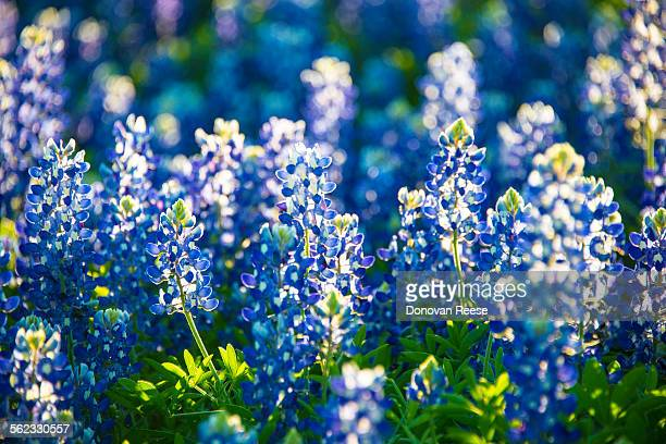 Close-up of bluebonnets, Texas