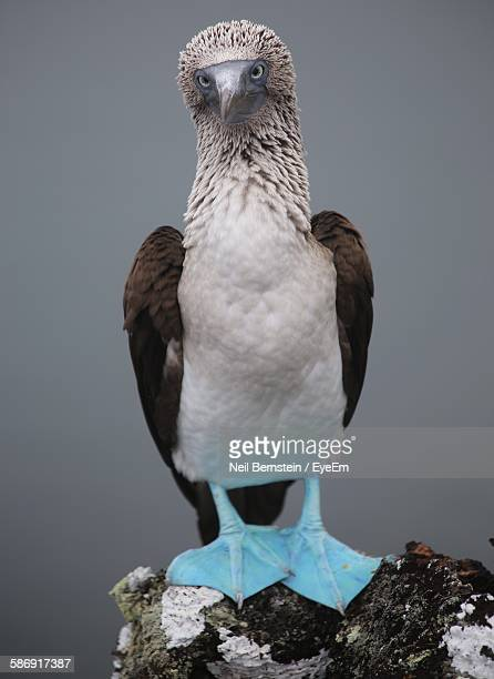 Close-Up Of Blue-Footed Booby On Rock At Galapagos Islands