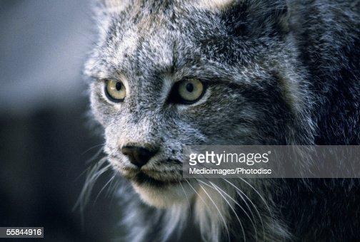 Close-up of bobcat's face