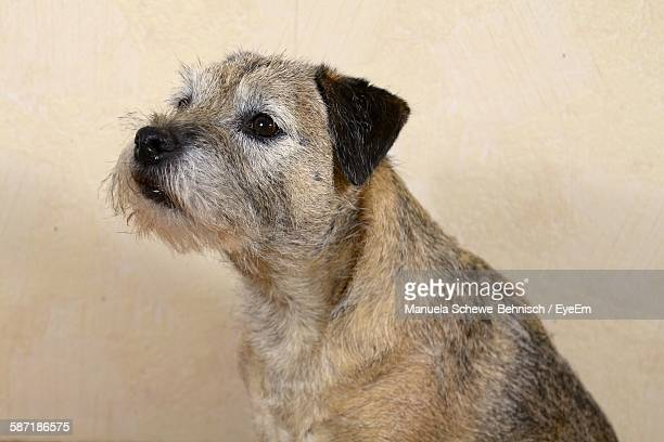 Close-Up Of Border Terrier Against Wall