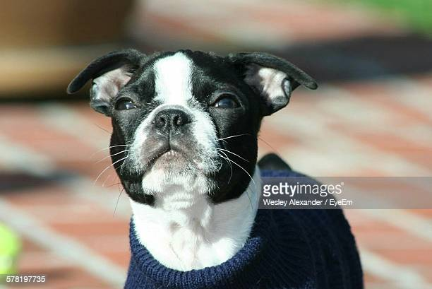 Close-Up Of Boston Terrier Looking Up Outdoors