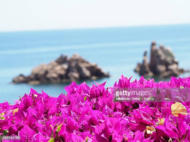 Close-Up Of Bougainvillea Blooming By Shore