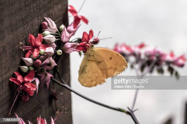 Close-Up Of Bougainvillea Blooming Outdoors