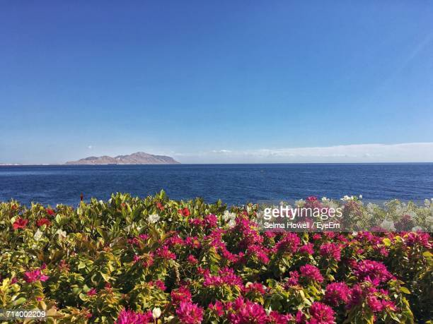 Close-Up Of Bougainvillea By Sea Against Clear Blue Sky