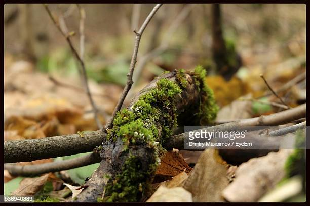 Close-Up Of Branch With Moss On Forest Floor