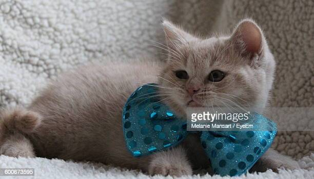 Close-Up Of British Shorthair Kitten Wearing Blue Hair Bow