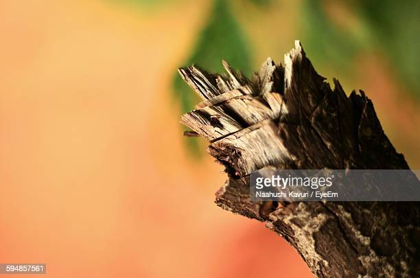 Close-Up Of Broken Tree Branch