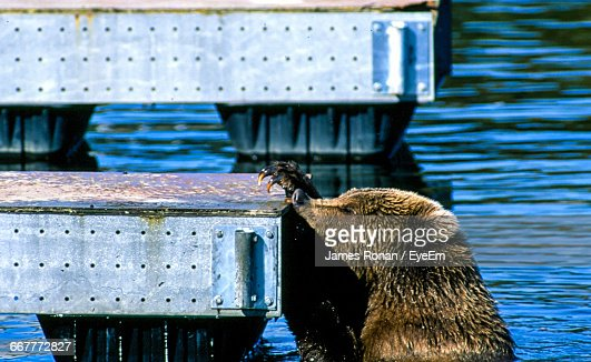 Close-Up Of Brown Bear In Water